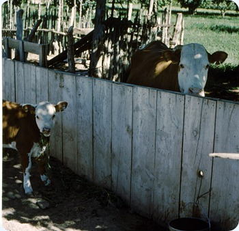 1962 cows at home