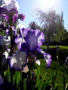spring iris 006