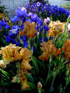 spring iris 010