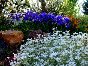 spring iris 017