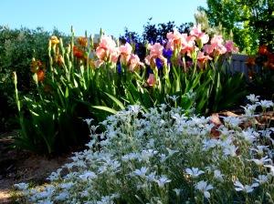 spring iris 019