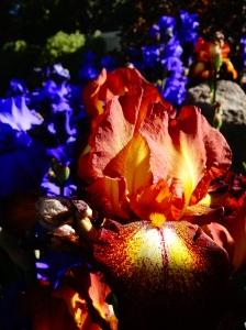 spring iris 023