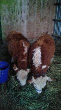 My brother's new calves
