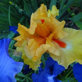 New yellow-orange variety